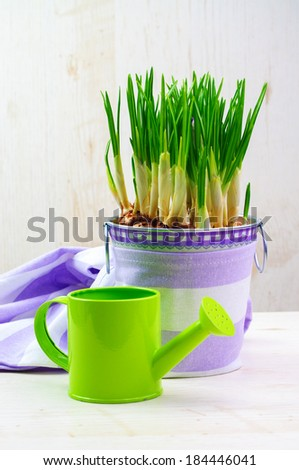 A pot of crocus flowers and a watering can