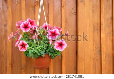A pot of petunias hanging from the walls of the house