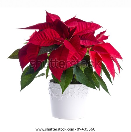 A Pot of Red Poinsettia Isolated on White - stock photo
