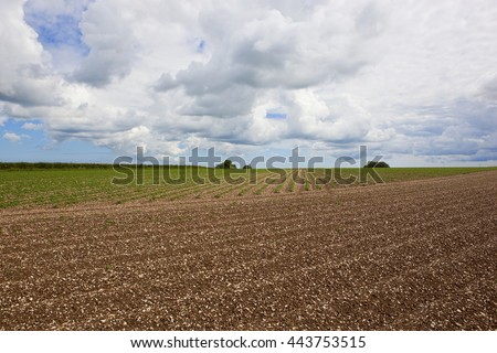 a potato crop in chalky soil in the yorkshire wolds england under a blue cloudy sky - stock photo