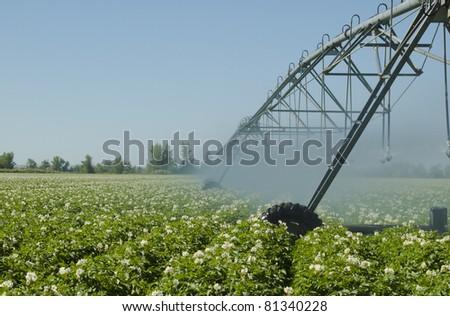 A potato field irrigated by a pivot sprinkler system. - stock photo