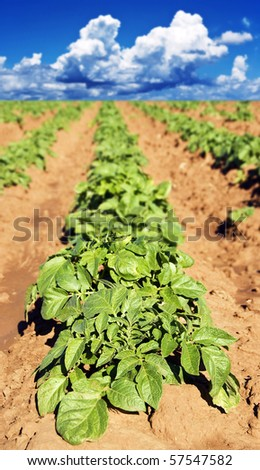 a Potato field with young potato plants - shallow depth of field with the focus on the top leaves of the front plant - stock photo