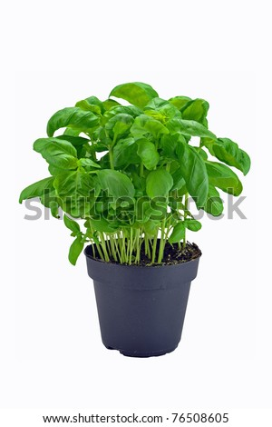 A potted basil herb plant on a white background - stock photo