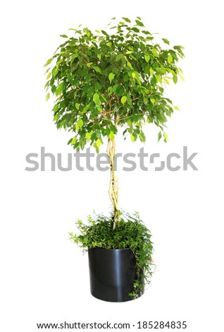 A Potted Braided Trunk Ficus Benjamina with Ivy Isolated on White - stock photo