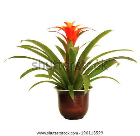 A Potted Red Guzmania Bromeliad Isolated on White - stock photo