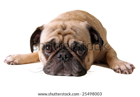 A pouting pug, isolated on white - stock photo
