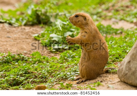 A Prairie Dog eating a Nut on a Hill - stock photo