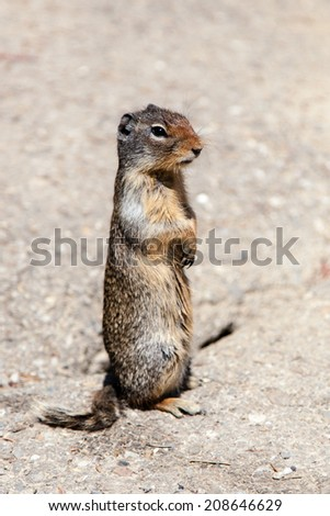 A Prairie dog (genus Cynomys) standing upright on its hind legs. - stock photo