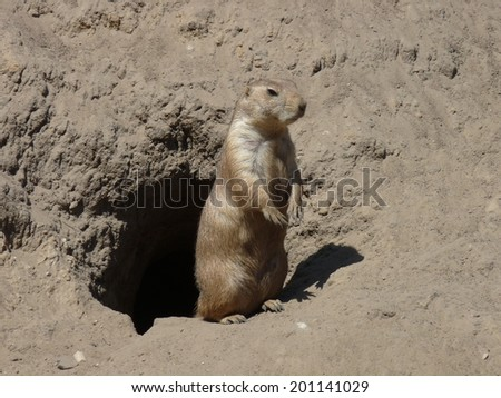 a prairie dog outside his burrow