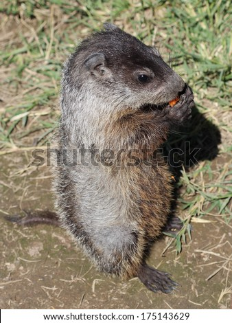 A prairie dog pup unafraid of people chomps on a carrot he begged from some local campers by using the cuteness factor. - stock photo