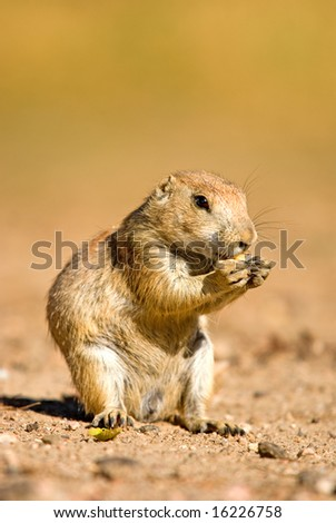 A prairie dog stand up and eating food