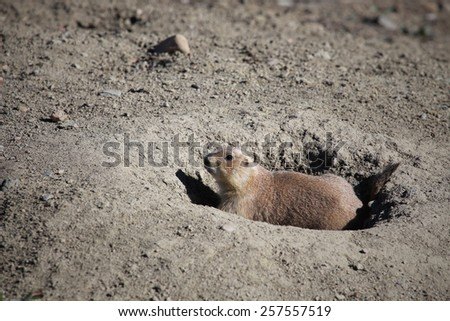 A prairie dog stands guard at the opening to one of its tunnels in Boulder, Colorado. - stock photo