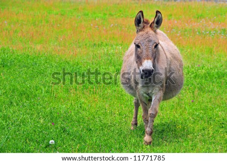 A pregnant donkey walks in a pasture - stock photo