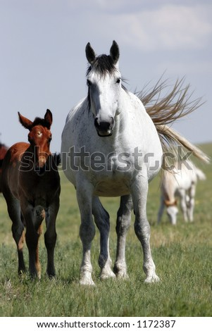 A pregnant mare and her yearling baby in an American West landscape (shallow focus). - stock photo