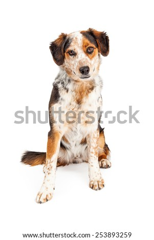 A pretty adult Australian Shepherd mixed breed dog sitting and looking at the camera - stock photo