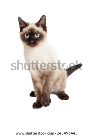 A pretty and playful Siamese breed kitten on a white background looking forward
