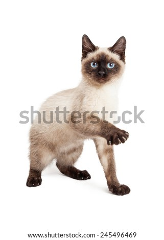 A pretty and playful Siamese breed kitten raising up a paw to play - stock photo
