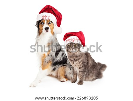 A pretty Australian Shepherd dog with a merle coat wearing a nice Santa hat sitting next to a domestic medium hair tabby cat wearing a naughty Santa hat. Isolated on white.
