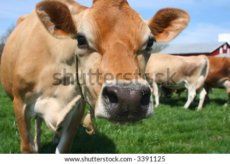 A pretty bovine hanging out in a green pasture - stock photo