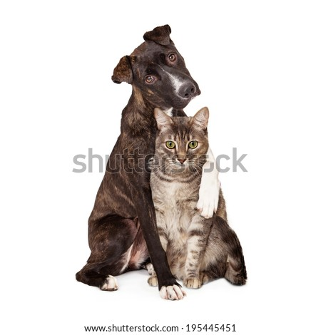 A pretty brindle coated Mountain Cur dog sitting next to a pretty tabby cat with his arm around her and paw resting on her shoulder - stock photo