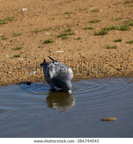 A  pretty  grey  pigeon constituting  the bird clade Columbidae  sips at a puddle near the groyne  on the outer harbour at Bunbury Western Australia on a sunny morning in early spring..