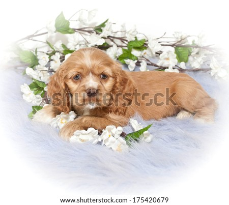 A pretty Little Cocker Spaniel Puppy laying on a purple blanket with white flowers around her. - stock photo