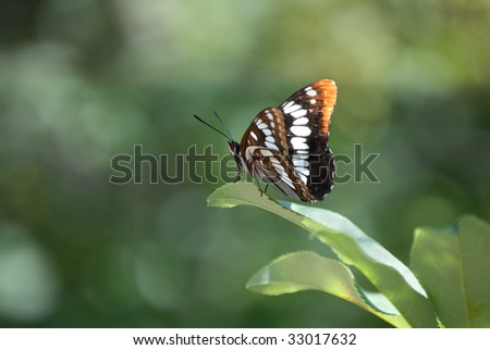 A pretty Lorquin's Admiral Butterfly showing both top and underside of wings, perched on a leaf with a mottled green background. - stock photo