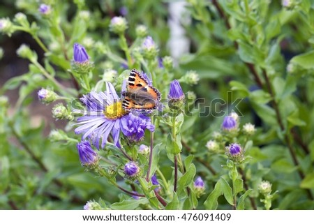 A pretty multi coloured (tortoiseshell) butterfly resting on a purple flower
