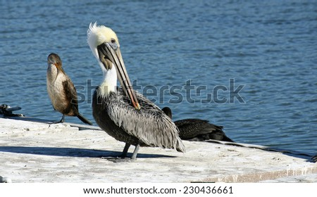A pretty pelican standing on a pier in the sunlight - stock photo
