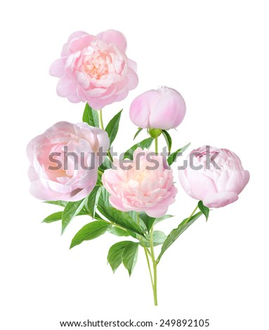 a pretty peony flower branch isolated on white  - stock photo