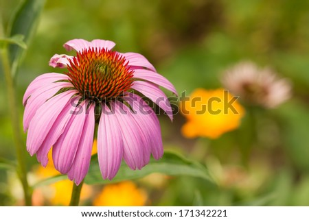 A pretty pink echinacea flower head in the garden. - stock photo