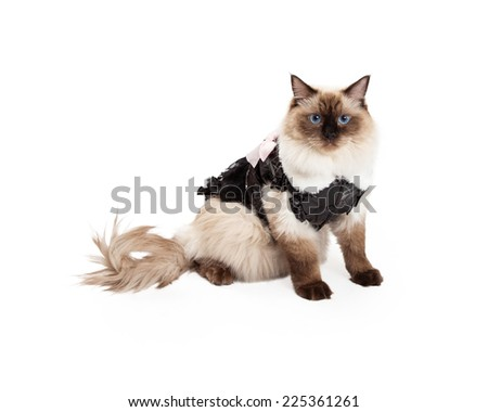 A pretty Ragdoll Cat sitting looking into the camera while wearing a modern brown dress with faux white fur collar and pink bow. - stock photo