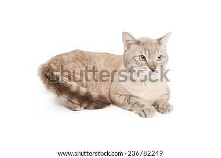 A pretty silver and brown color cat laying down  - stock photo