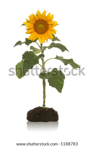A pretty sunflower in planted in the dirt isolated over white - stock photo