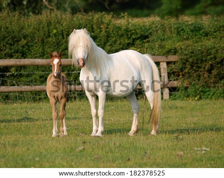 A pretty Welsh mare and foal in a Spring paddock.