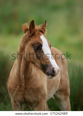 A pretty welsh pony foal stands in a meadow with very long grass.