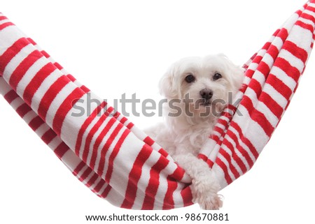 A pretty white maltese terrier relaxing in a beach towel hammock with one paw handing out. - stock photo