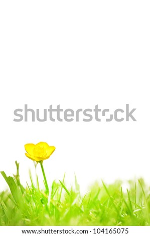 A pretty yellow buttercup on grass  isolated on white. - stock photo