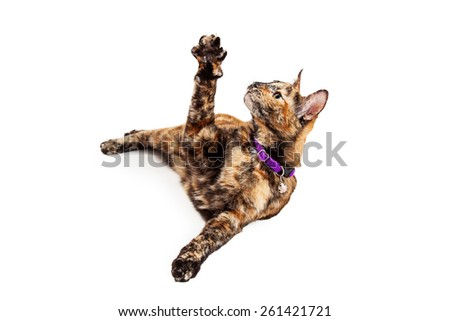 A pretty young Bengal breed cat laying on his side and raising his arm up in the air to play - stock photo