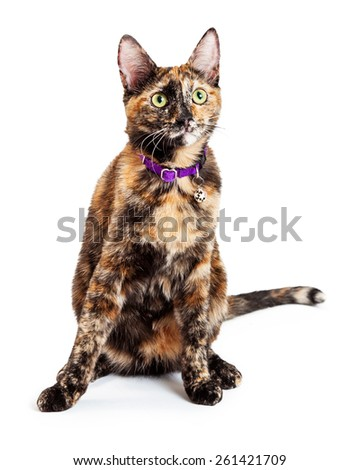 A pretty young Bengal mixed breed cat wearing a purple collar sitting and looking up - stock photo