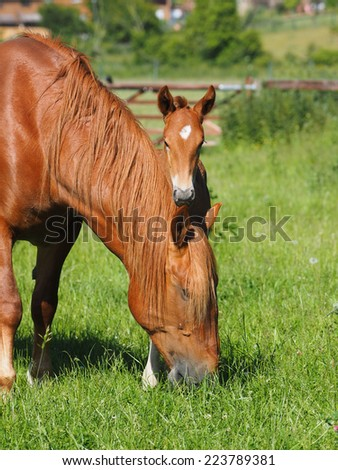 A pretty young foal in a paddock with its mother. - stock photo