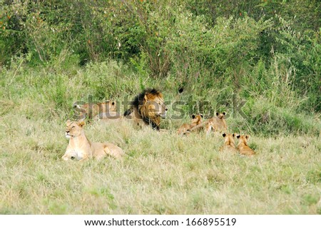 A pride of lions - stock photo