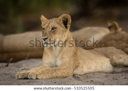 a pride of lions, Chobe National Park, Botswana