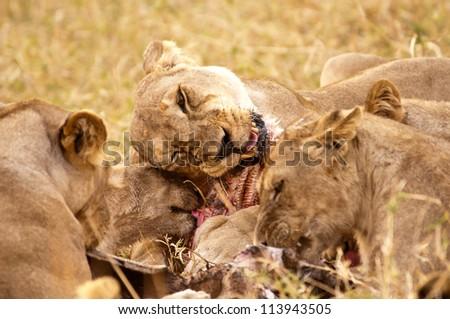 A Pride of Lions devours a baby Hippo.  Ruaha National Park, Tanzania. - stock photo