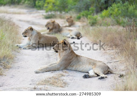 A pride of lions resting on a dirt road - stock photo