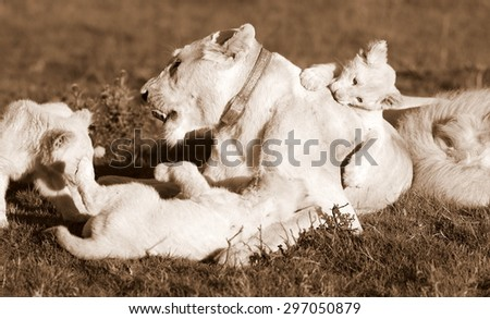 A pride of white lion rest with 3 white new born cubs. South Africa - stock photo