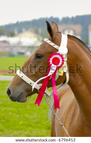 A prize-winning horse at a show, showing its rosette