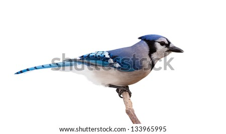 A profile of a bluejay perched on a branch. The bird feathers transition from light to dark blue, from tail to beak, through its slender body. White background. - stock photo