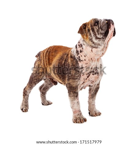 A profile of a Bulldog with patches of fur missing due to skin mites  - stock photo