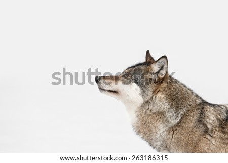 A profile of a Grey Wolf looking into the distance because its attention has been caught by movement on some higher ground to the left of frame. - stock photo